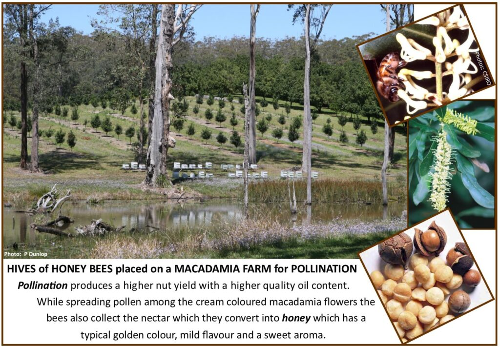 Hives of honey bees for pollinating macadamia flowers
